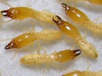 شركة مكافحة النمل الابيض بالمدينة المنورة